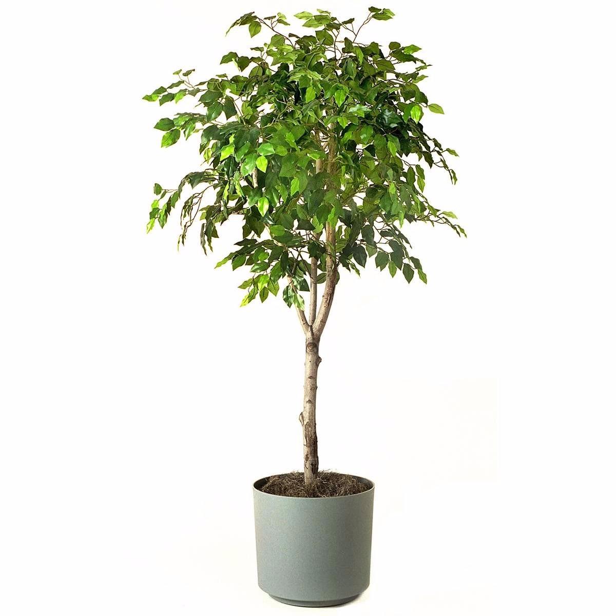 Ficus Benjamina - $ 250.00 en Mercado Libre