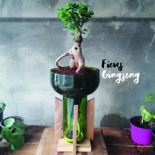 ficus ginseng little plant 32 con soporte, autorregante