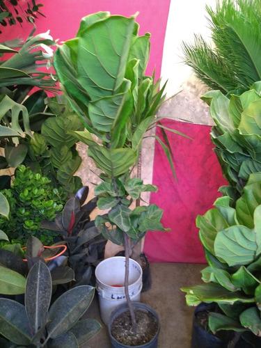 ficus pandurata 1.20 a 1.40 m ficus lyra o lyrata  ( planta)