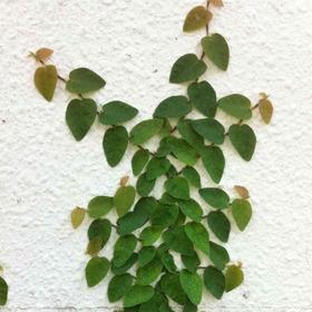 Ficus Pumila M12 - Enamorada Del Muro - Envíos