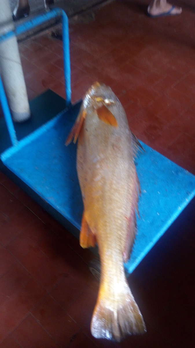 Filé De Pescada Cambucu, Amarela, Gurijuba , Uritinga Etc