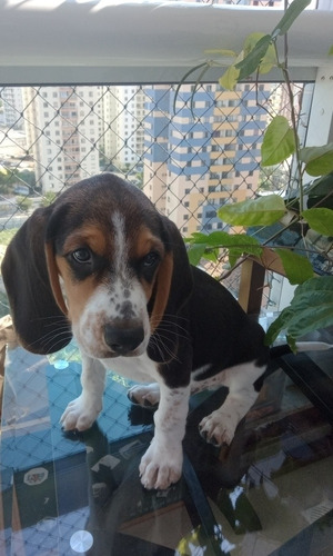 filhote beagle, vacinado, vermifugado