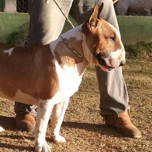 filhote de bull terrier ( diferenciados )