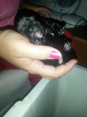 filhote de bulldog frances blue gene 12x sem juros