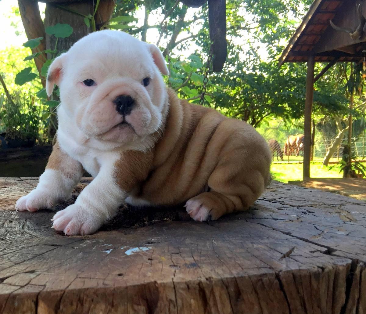 Filhote De Bulldog Inglês Fêmea Com Pedigree Cbkc R 500000 Em