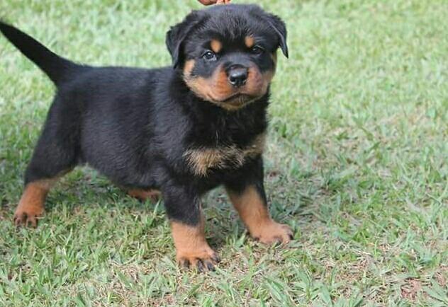 12 18 Month Male Rottweiler Dog For Adoption: Filhote De Rottweiler Com Pedegree Cbkc