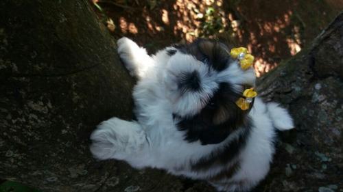 filhote femea shih tzu bem pequena