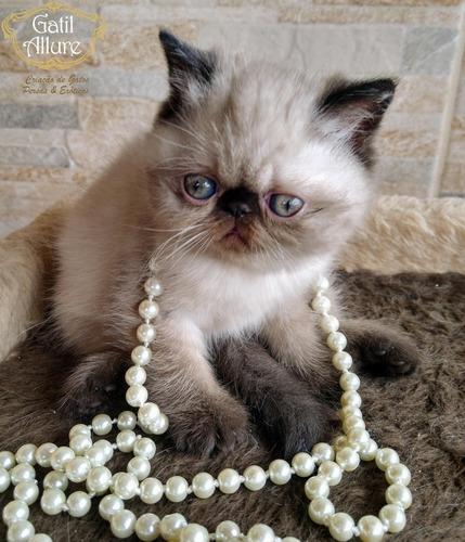filhote gato persas e exóticos com pedigree