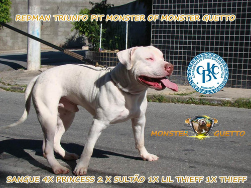 filhote macho pit bull red nose -  mix thompson x camelot