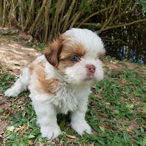 filhote pequeno de shih-tzu macho com pedigree!