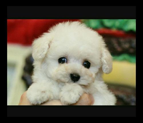filhote poodle toy lindo macho ótima pelagem fucinho fino!