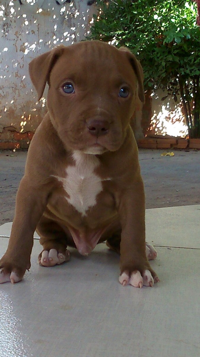 red nose pitbull terrier filhotes american pitbull terrier red nose r 500 00 em 3398