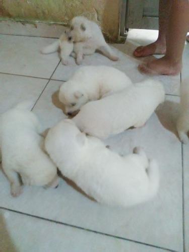 filhotes de akita inu albino