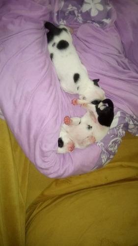 filhotes de bull terrier com pitbull