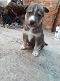 Filhote Raposa Siberiana Pit Bull Cachorros Raca Pitbull
