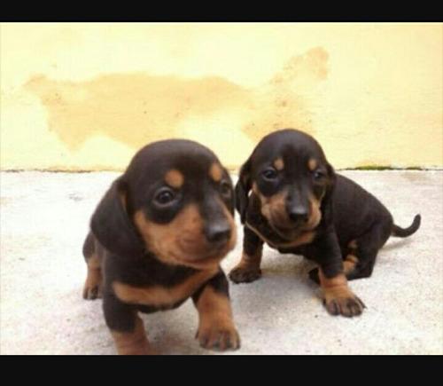 filhotes de dachshund tecktel salsicha basset cofap machos