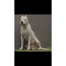 Filhotes De Dogo Argentino Pedigree Cbkc, Excelente Padrao!