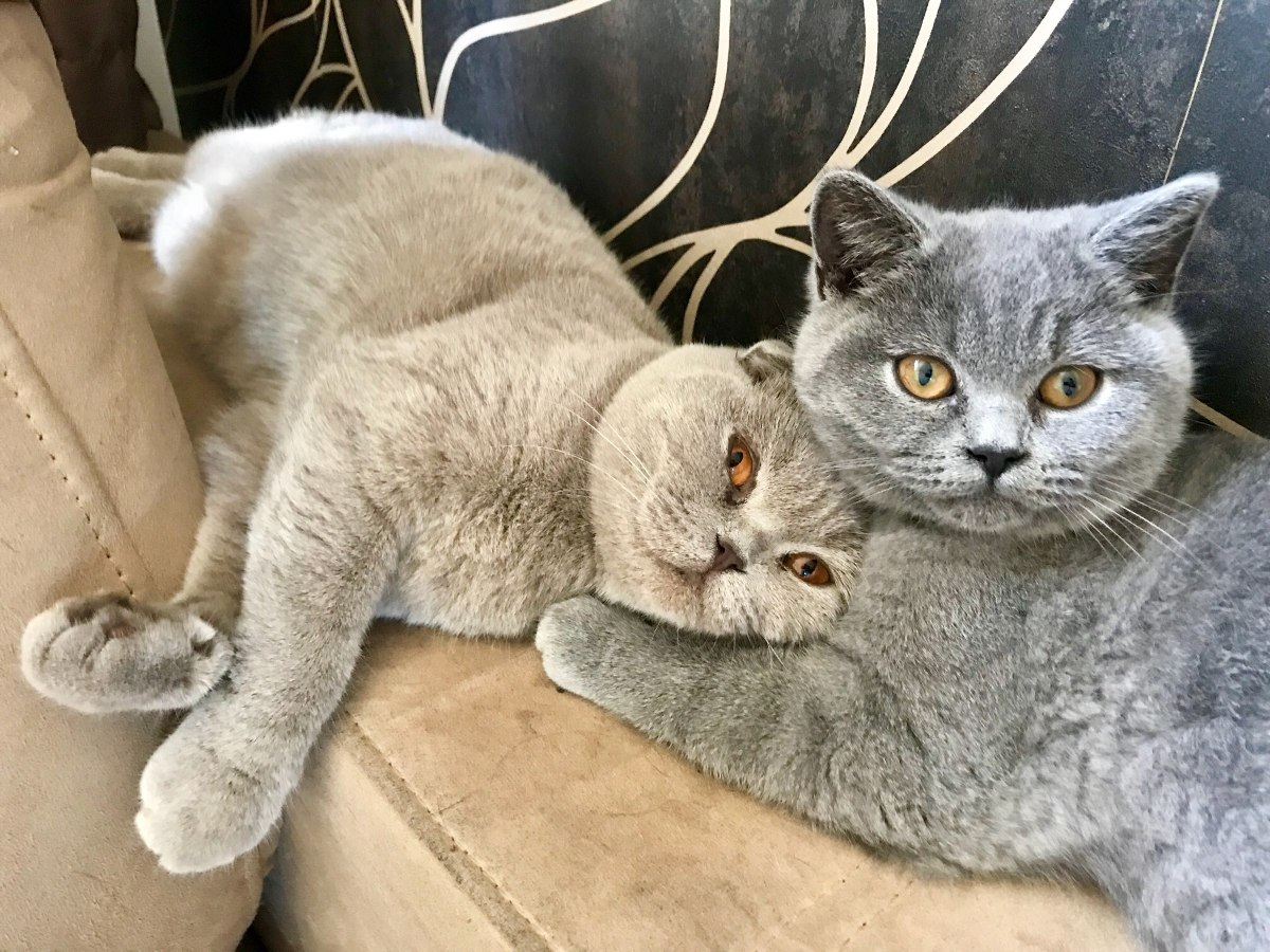 Filhotes De Gato Scottish Straight (british Shorthair) - R  3.500,00 ... c9357a092e