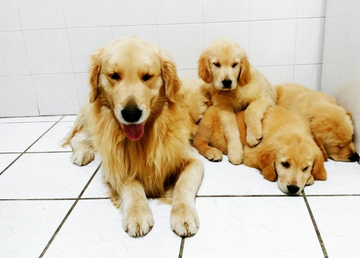 O Golden Retriever Solta Muito Pelo Filhotes De Golden Ret...