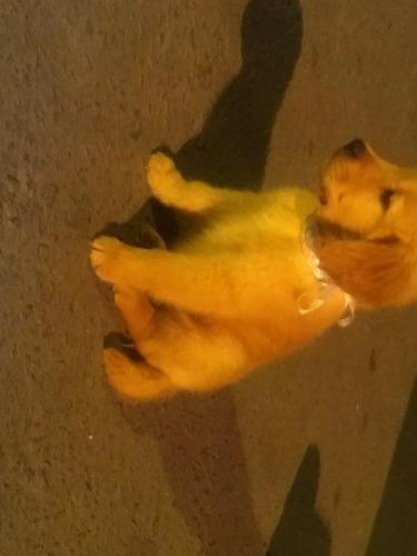 filhotes de golden retriever a pronta entrega