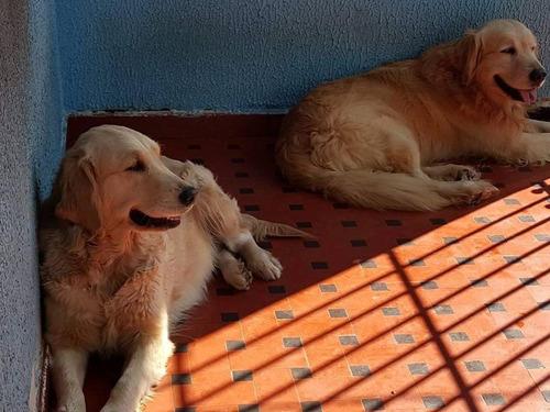 filhotes de golden retriever pedigree e microchipados