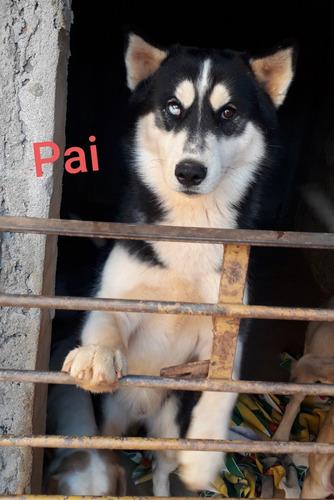 filhotes de husk siberiano machos puro, pedigree