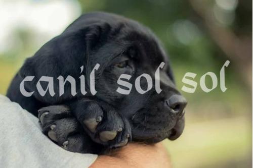 filhotes de labrador (canil especializado na raça) preto