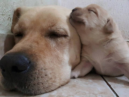 filhotes de labrador (com pedigree e microchipados)