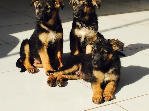 filhotes de pastor alemao