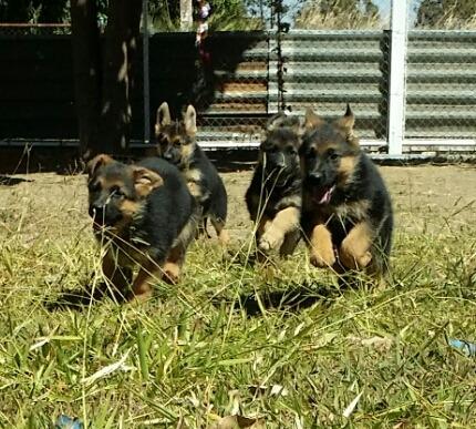filhotes de pastor alemão com pedigree