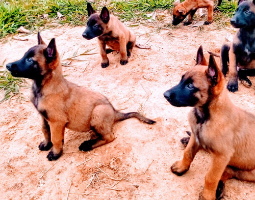 filhotes de pastor belga malinos .pai e mãe com pedigree.
