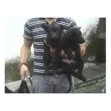filhotes de pastores negros groenendael pelo longo vacina im