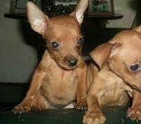 filhotes de pinscher mini  fêmeas disponíveis