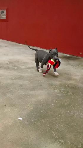 filhotes de pitbull (american pitbull terrier, blue nose)