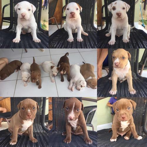 filhotes de pitbull apbt- american pitbull terrier