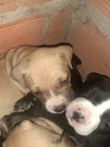 filhotes de pitbull nascimento 08/5 valor 500 reais