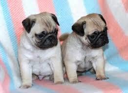 filhotes de pug com pedigree lindos!!