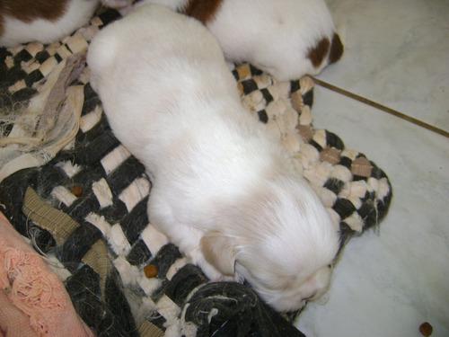 filhotes de shih tzu com pedigree