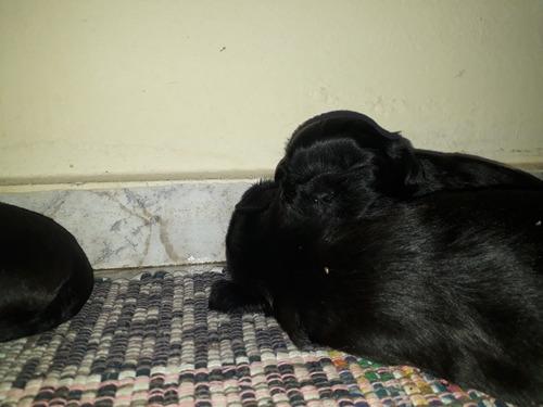 filhotes de shitzu mini, puro sangue, cor preta.