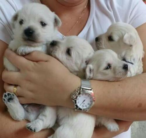 filhotes de west higland white terrier