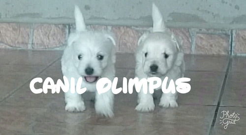 filhotes de west terrier machos com pedigree