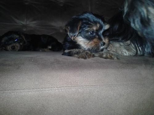 filhotes de yokshire terrier