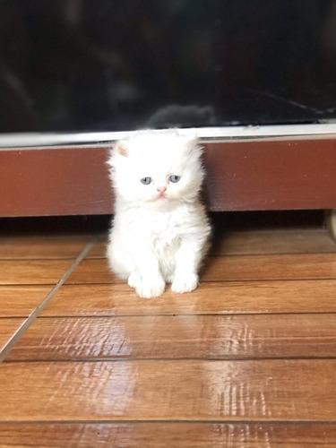filhotes gato persa