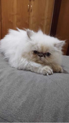 filhotes gato persa chow