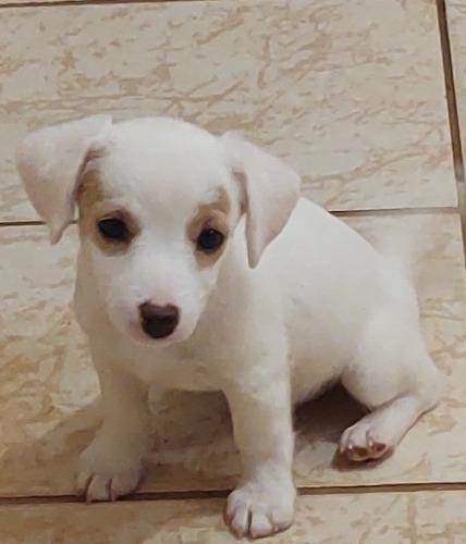 filhotes jack russel terrier