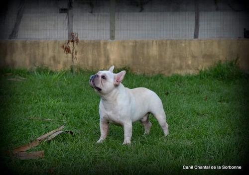 filhotes machos bulldog francês creme