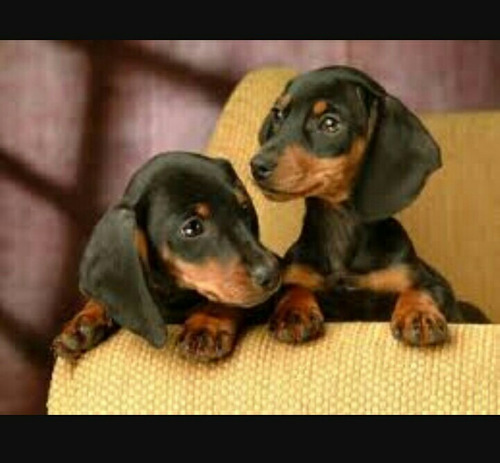 filhotes machos de basset dachshund tecktel basset cofap