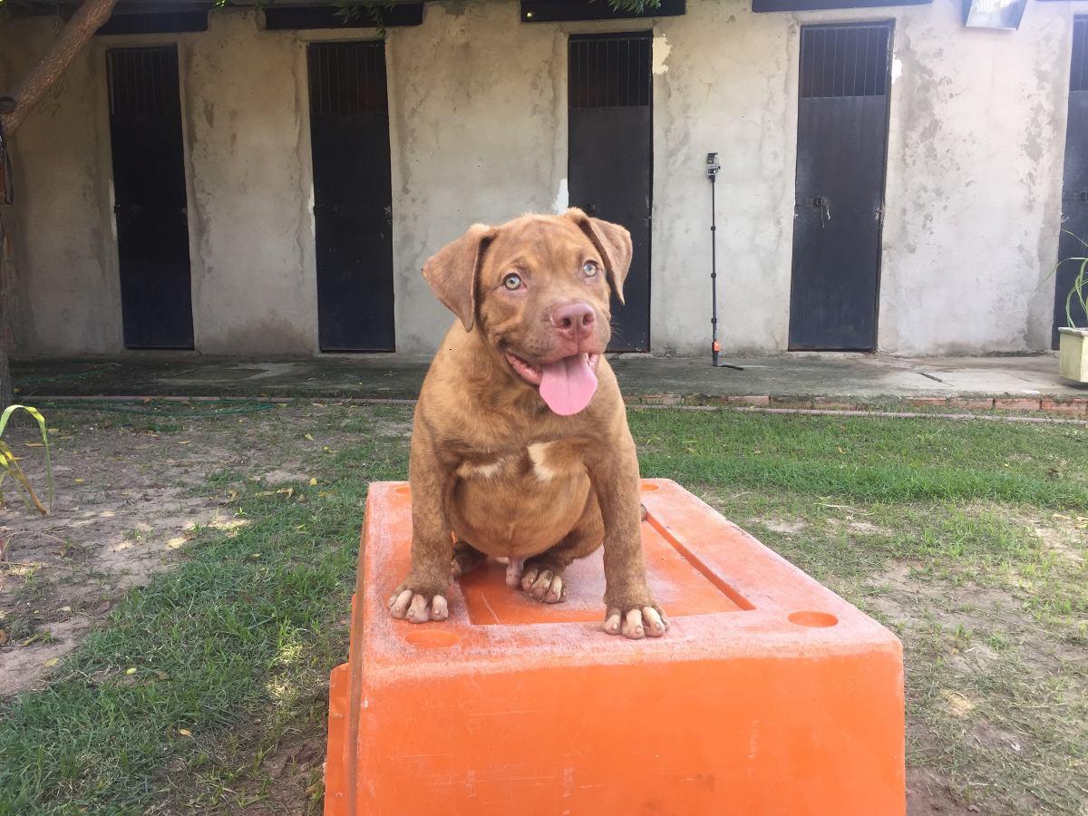 Filhotes Mix De Bulldog Americanodog De Bordeauxpit Bull R
