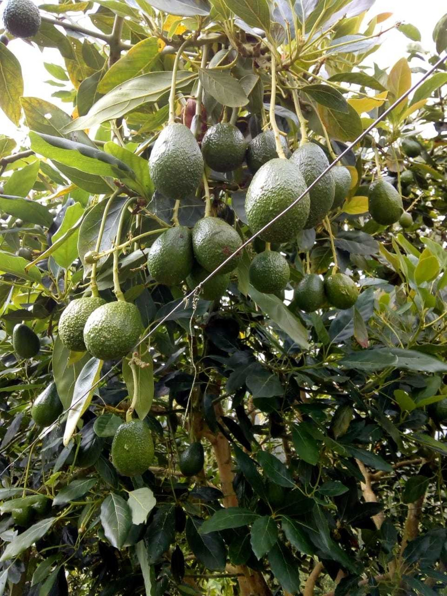 finca:  5.5 fanegadas, cultivo de: aguacate, tomate de árbol