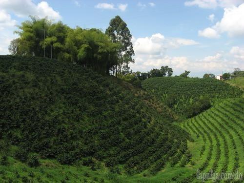 finca cafe sembrada 12,000 tarea en producción